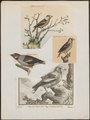 Coccothraustes vulgaris - 1700-1880 - Print - Iconographia Zoologica - Special Collections University of Amsterdam - UBA01 IZ16000299.tif