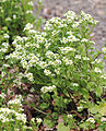 Cochlearia officinalis Prague 2012 2.jpg