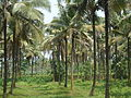 Coconut Tree Farm.JPG