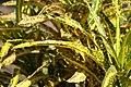 Codiaeum variegatum Robert Lavoris 0zz.jpg
