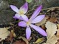 Colchicum lusitanicum (39891075101).jpg