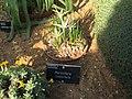 Colchicum soboliferum 06.jpg