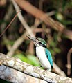 Collared Kingfisher, odiramphus chloris.jpg