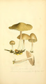 Coloured Figures of English Fungi or Mushrooms - t. 37.png
