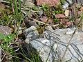 Common Darter Dragonfly (4565497893).jpg
