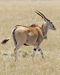 Common Eland (Taurotragus oryx) - Flickr - Lip Kee.jpg