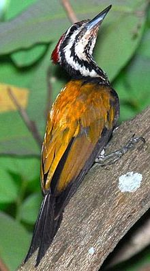 Common Flame-back Woodpecker1.jpg