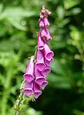 Common Foxglove (Digitalis purpurea) (41155708450).jpg