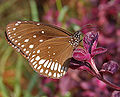 Common Indian Crow (Euploea core) on Iresine herbstii in Hyderabad W IMG 0586.jpg