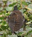 Common Moorhen (Gallinula chloropus)- Preening at Kolkata I IMG 2452.jpg