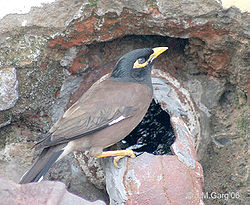 Common Myna- At a water hole I2 IMG 2391.jpg