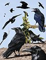 Common Raven From The Crossley ID Guide Eastern Birds.jpg