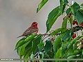 Common Rosefinch (Carpodacus erythrinus) (27969873890).jpg