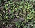 Common Wood Sorrel (Oxalis acetosella) - Oslo, Norway 2020-08-24 (02).jpg