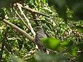 Common hawk cuckoo111.JPG