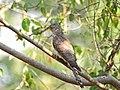Common hawk cuckoo (Hierococcyx varius).jpg