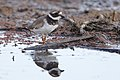 Common ringed plover, Charadrius hiaticula, at Marievale Nature Reserve, Gauteng, South Africa (44878737784).jpg