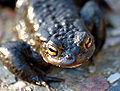 Common toad face close-up (aka).jpg