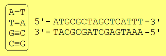 Complementarity (molecular biology) - Left: the nucleotide base pairs that can form in double-stranded DNA. Between A and T there are two hydrogen bonds, while there are three between C and G. Right: two complementary strands of DNA.