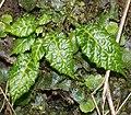 Conandron ramondioides (leaf s5).jpg