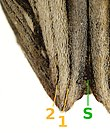 Coniocleonus nigrosuturatus apex.jpg