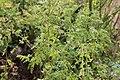 Conium maculatum GiardinoBotanicoAlpinoViote 20170902 E.jpg