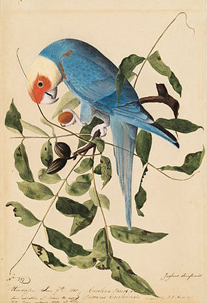 Carolina parakeet - C. c. ludovicianus by John James Audubon