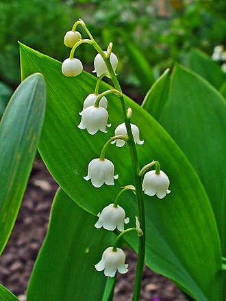 Lily of the valley - Image: Convallaria majalis 0002