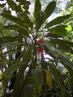 Cordyline fruticosa plant with fruit.jpg