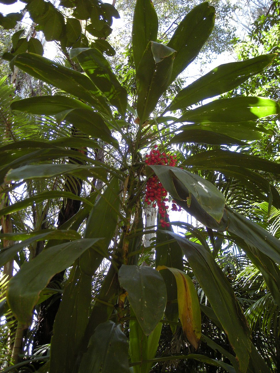 Cordyline fruticosa plant with fruit