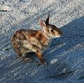 Core Banks - Eastern cottontail - 01.JPG