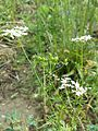 Coriandrum sativum sl3.jpg