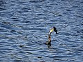Cormorant catches fish (36793252535).jpg