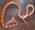 Corn Snake Devouring Dead Mouse Fetus by David Shankbone.jpg