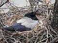 Corvus cornix on nest3.JPG