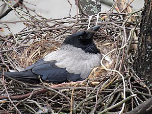 Ворона с большой дырой фото фото 331-25