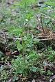 Corydalis capnoides 74776499.jpg