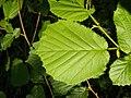 Corylus avellana 001.jpg