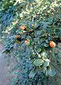 Cotoneaster apiculatus kz1.jpg