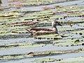 Cotton Pygmy Goose (45098822585).jpg