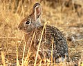 Cottontail Rabbit (4445913041).jpg