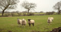 Counting Sheep ...... five - Flickr - Terry Kearney.png