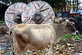 Cow, Bhubaneswar (2) - Oct 2010.jpg