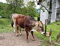 Cow in Slovenia.jpg