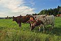 Cows by Kuninkaantie, Sipoo 5.JPG