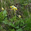 Cowslip (Primula veris) (4650847764).jpg