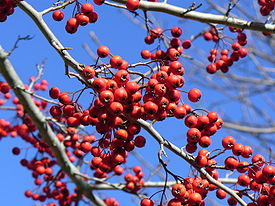 Crataegus viridis 'Winter King' 1.jpg