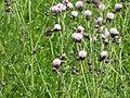 Creeping Thistle (Cirsium arvense), Sharpsburg, MD.jpg