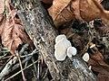 Crepidotus mollis 15066854.jpg