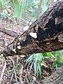 Crepidotus mollis 25033479.jpg